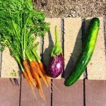 新宿での野菜づくり、初めての収穫時期になりました。